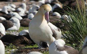 albatross romance
